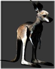 kangaroo_baby